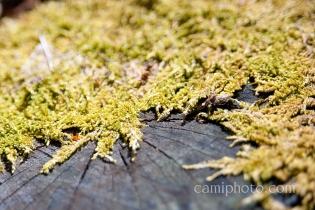 Moss reclaiming stump